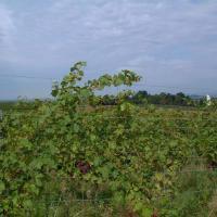 Vignes au Kaiserstuhl