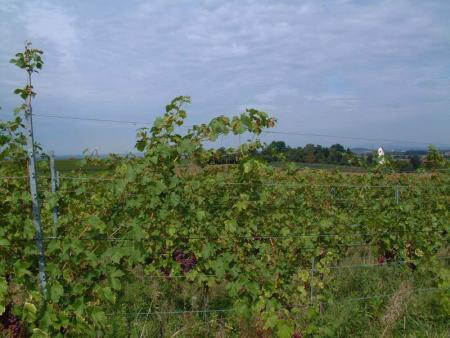 Weinreben am Kaiserstuhl