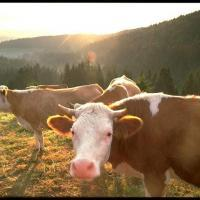 Backwoods koeien