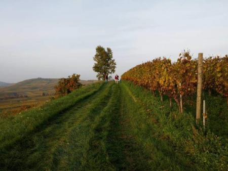 Rebenterrasse am Kaiserstuhl