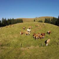 Koeien bij de Belchen