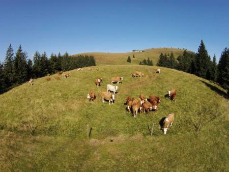 Mucche al Belchen