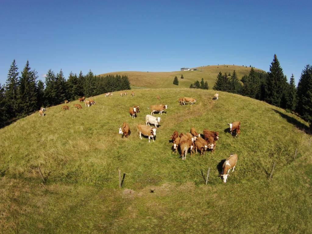 Коровы в Бельхене