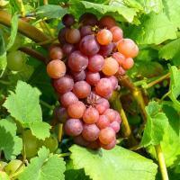 Виноград на Reebstock