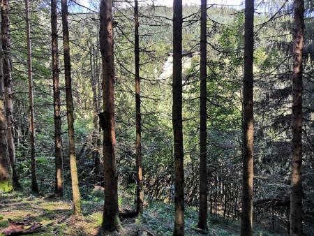 Жуки-короеды вызывают вымирание лесов в Шварцвальде