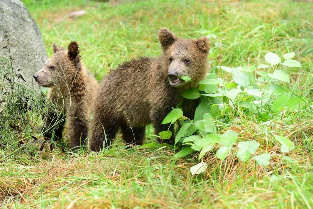 Bear cubs spelen Bron: operator