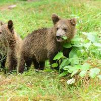 اشبال الدب يلعبون المصدر: عامل التشغيل