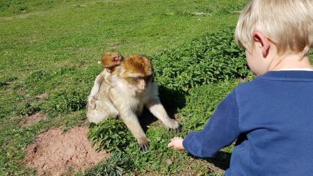 Barbary macaques in Tatzmania