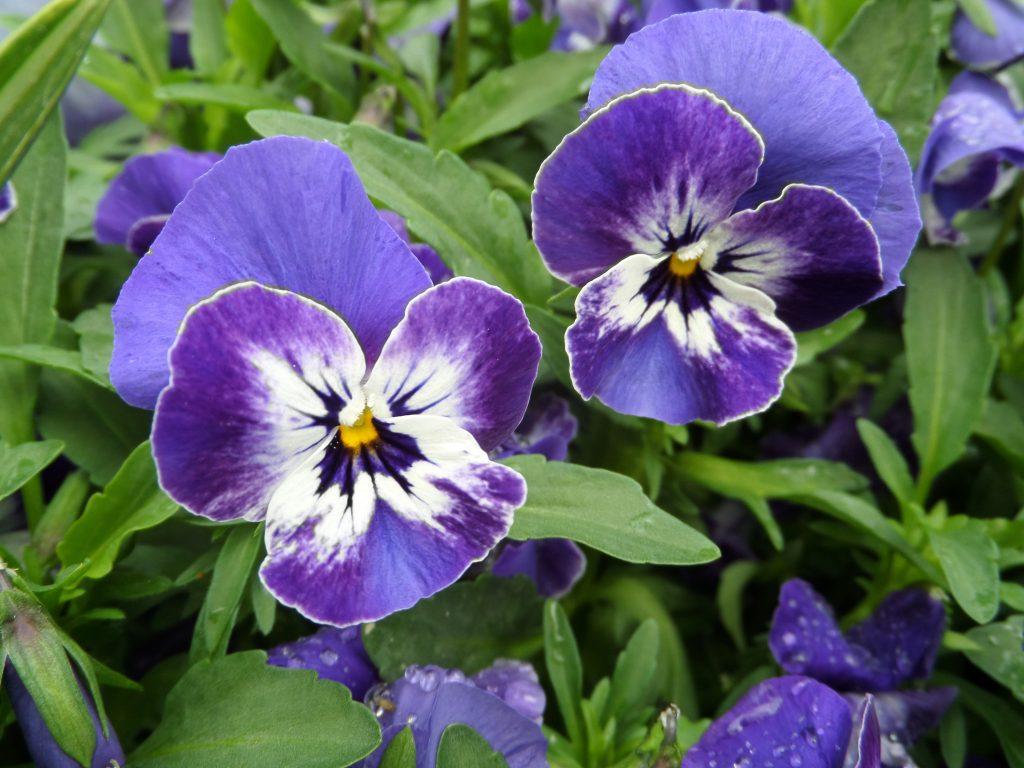 pansy, viola, purple