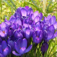 цветы, крокусы, луг