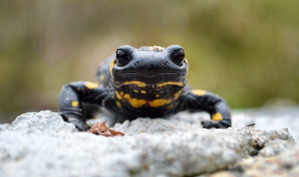 Salamander auf dem Glücksweg