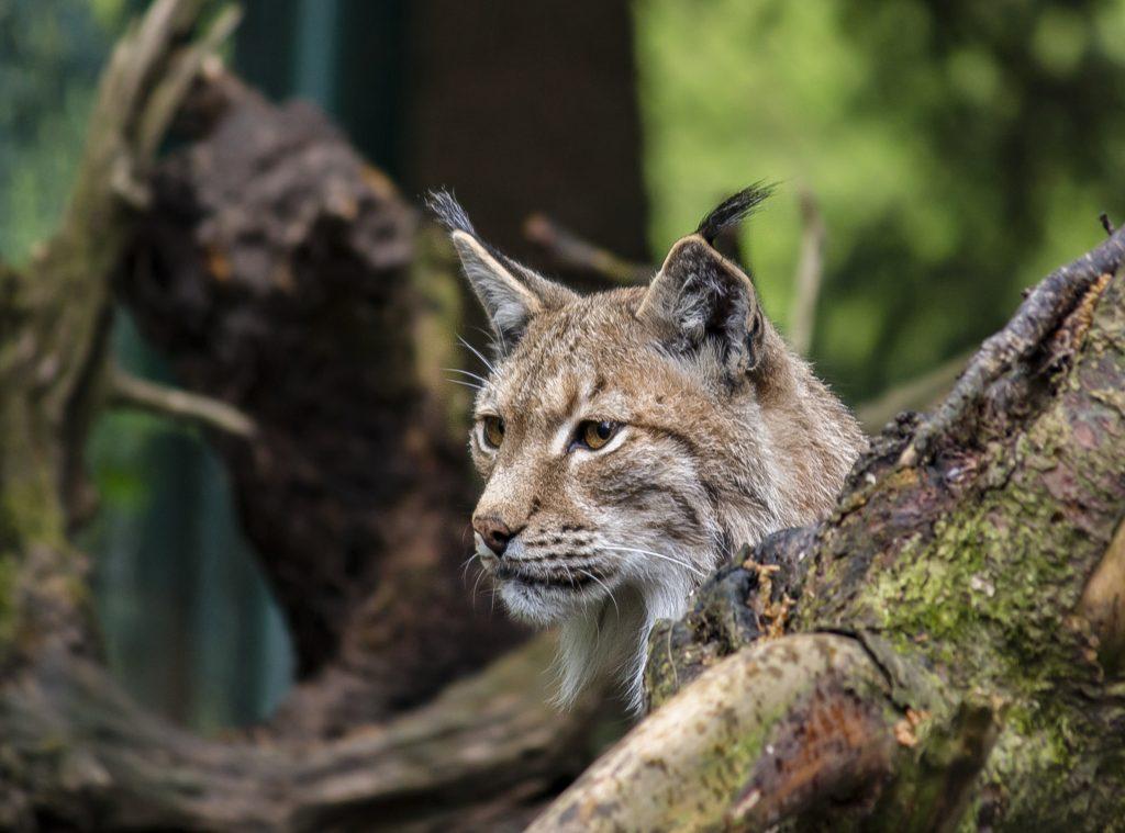 Lynx on the lynx trail