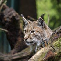 Lynx בשביל Lynx